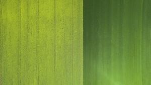 Champs de colza et blé